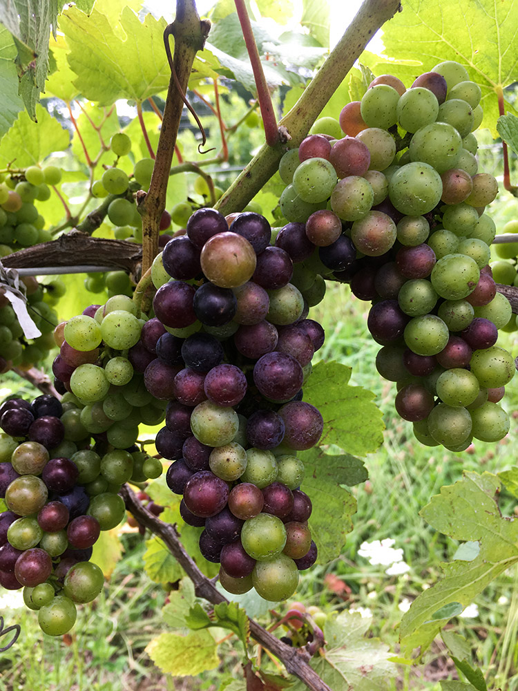 Pinot Noir grapes in veraison, (turning red)