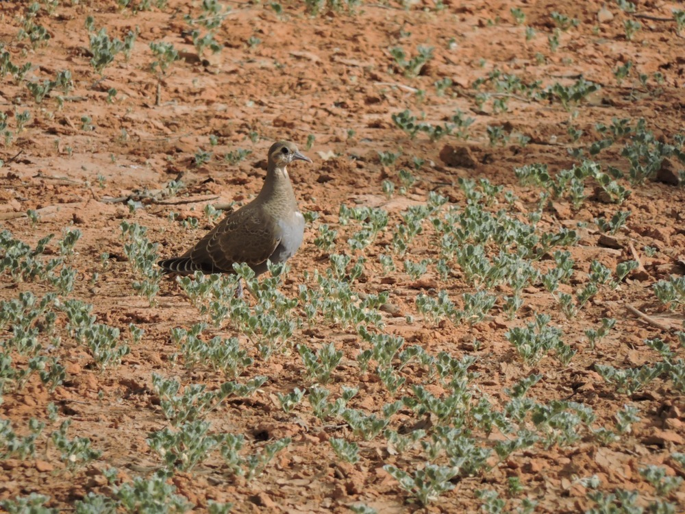 Juvenile Flock Bronzewing
