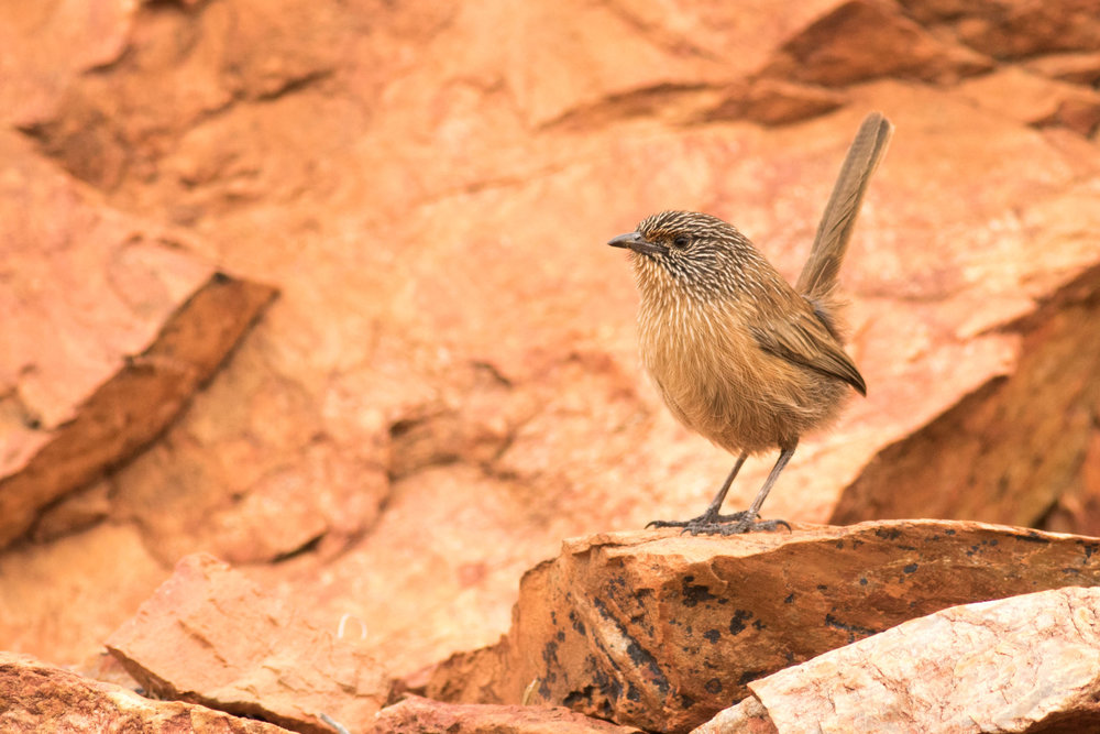 Dusky Grasswren from a hide ©Mark Carter 2016