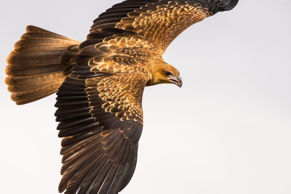Whistling Kite by Henry Cook. Image taken during 2016 Wild Central Australia workshop