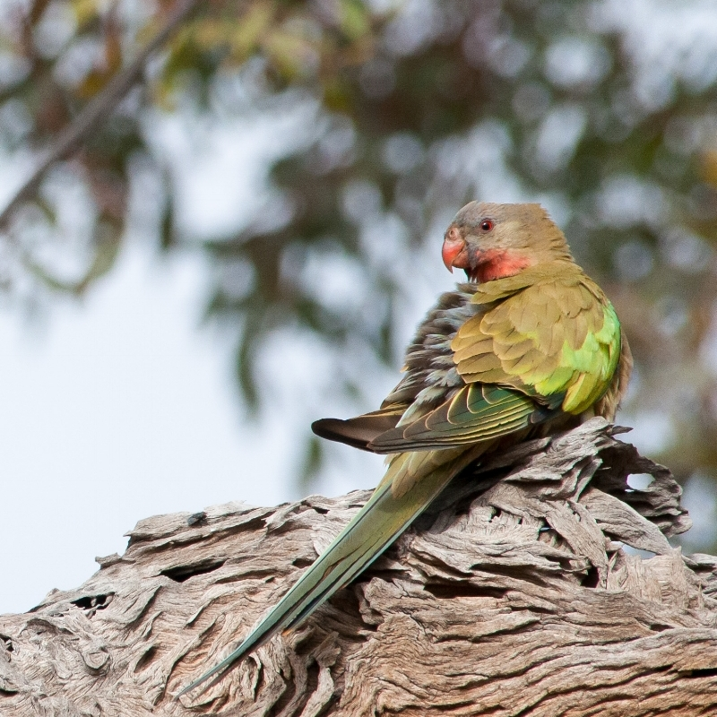 The beautiful and enigmatic Princess Parrot is a key target for this expedition. ©Gareth Catt