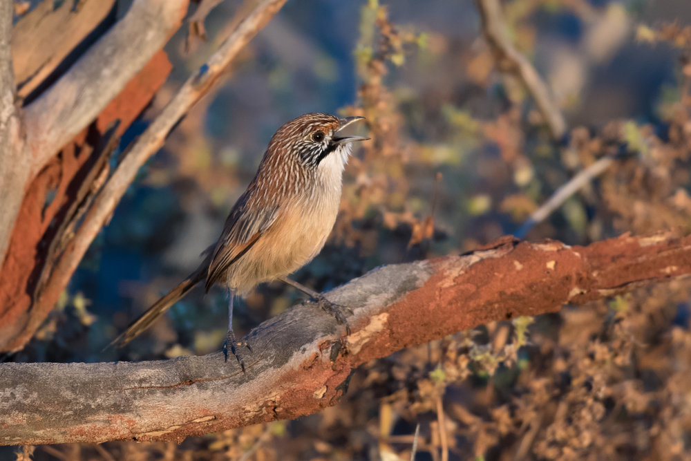 Sandhill Grasswren ©Mark Carter 2017
