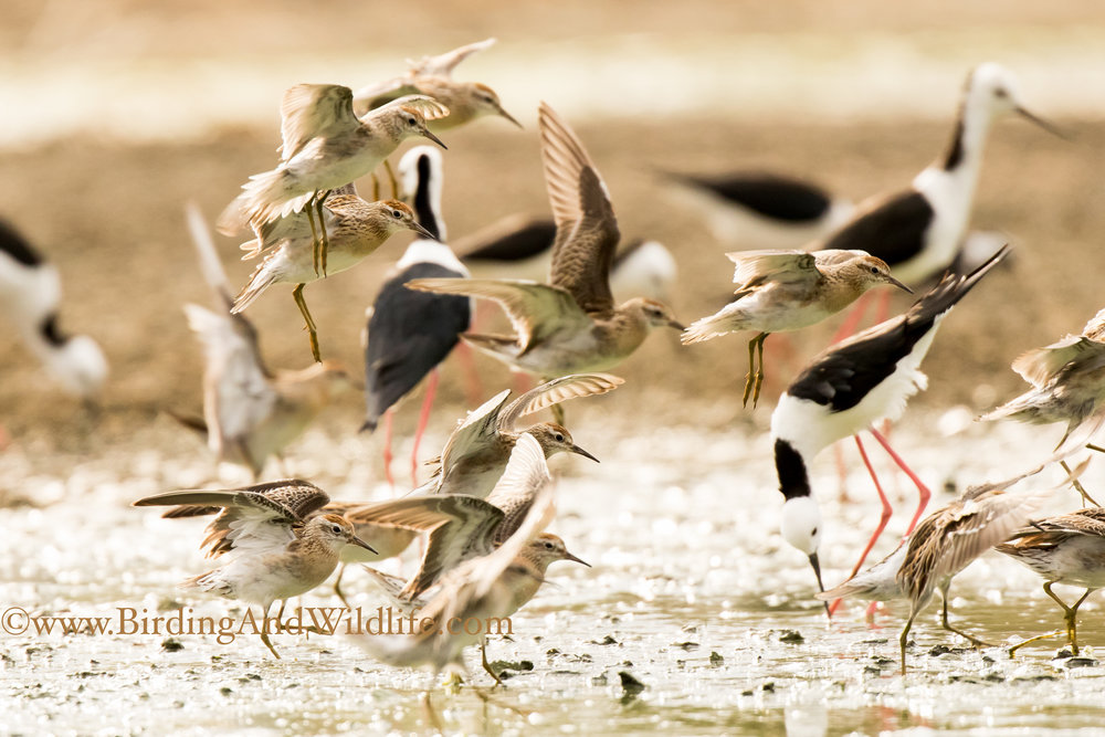 Sharp-tailed Sandpipers and Black-winged Stilt are common species at the Ponds ©Mark Carter 2017