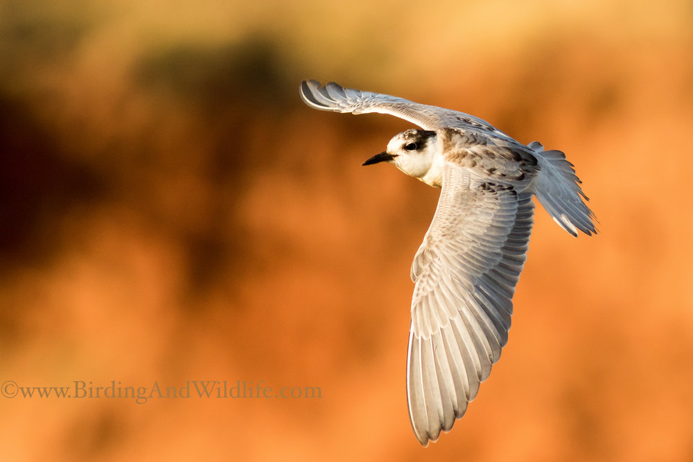Whiskered_Tern