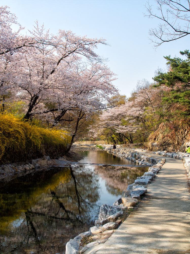 A small stream and cherry blossoms.