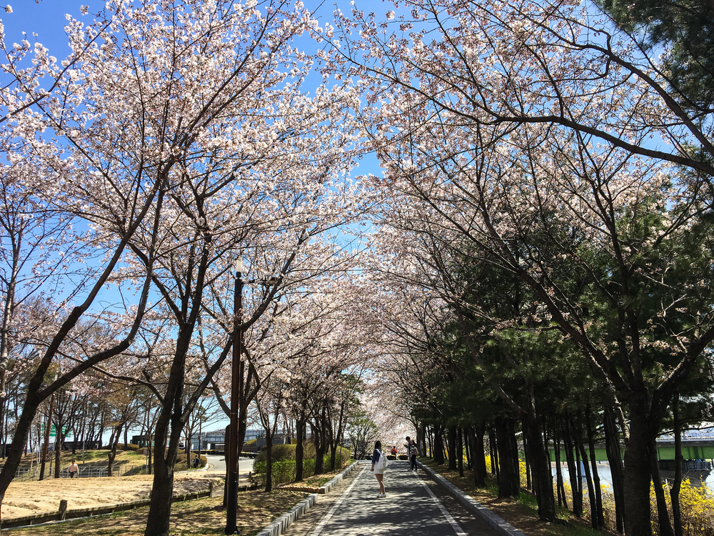 A road with cherry blossoms on both sides