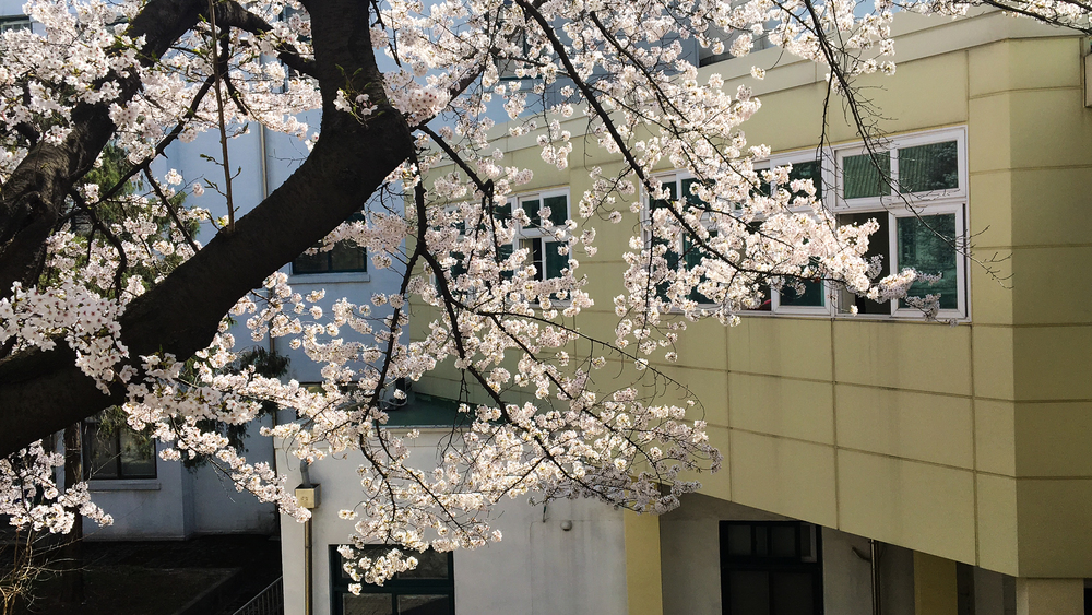 Cherry blossoms at the side of the library