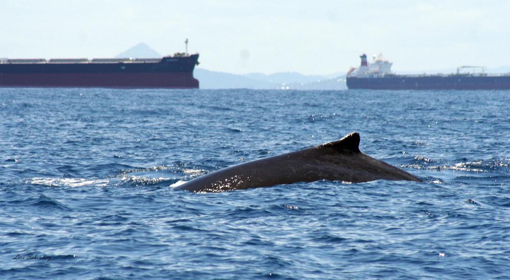 qld tankers whale-1.jpg