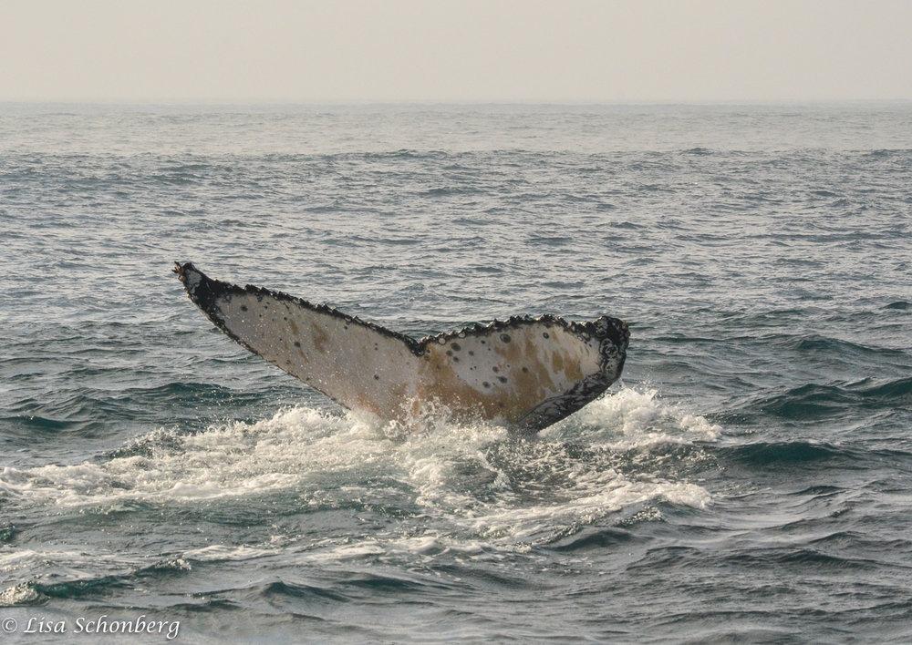 humpback_tail-2017.jpg
