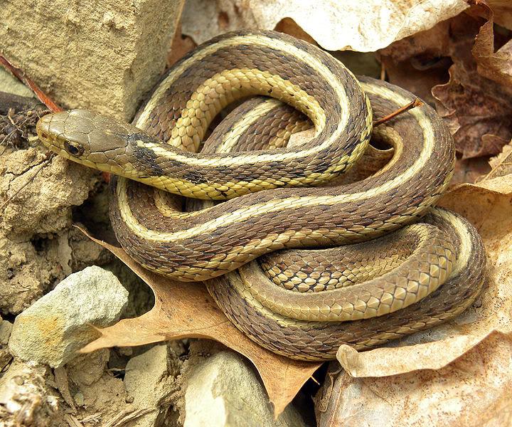 Northern Garter Snake.jpg
