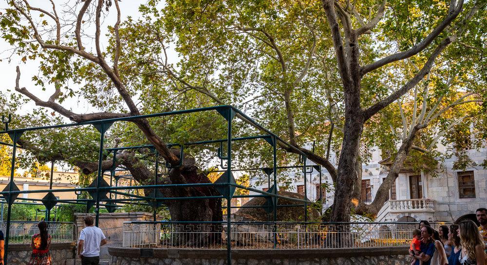 Copacul lui Hipocrate