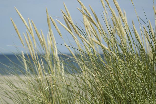 beach grass.jpg