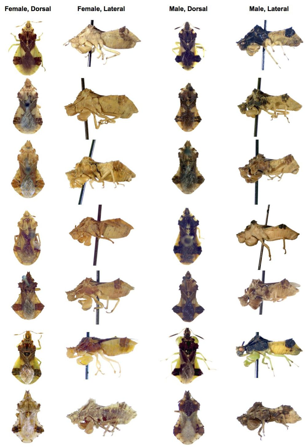 DIVERSITY.   There are over 100 species in the genus Phymata.  As you can see from this picture of 7 species and subspecies, size and colour differences between females (two left columns) and males (two right columns) are quite common.  We don't yet fully understand the evolutionary causes of these sex- and species-differences.