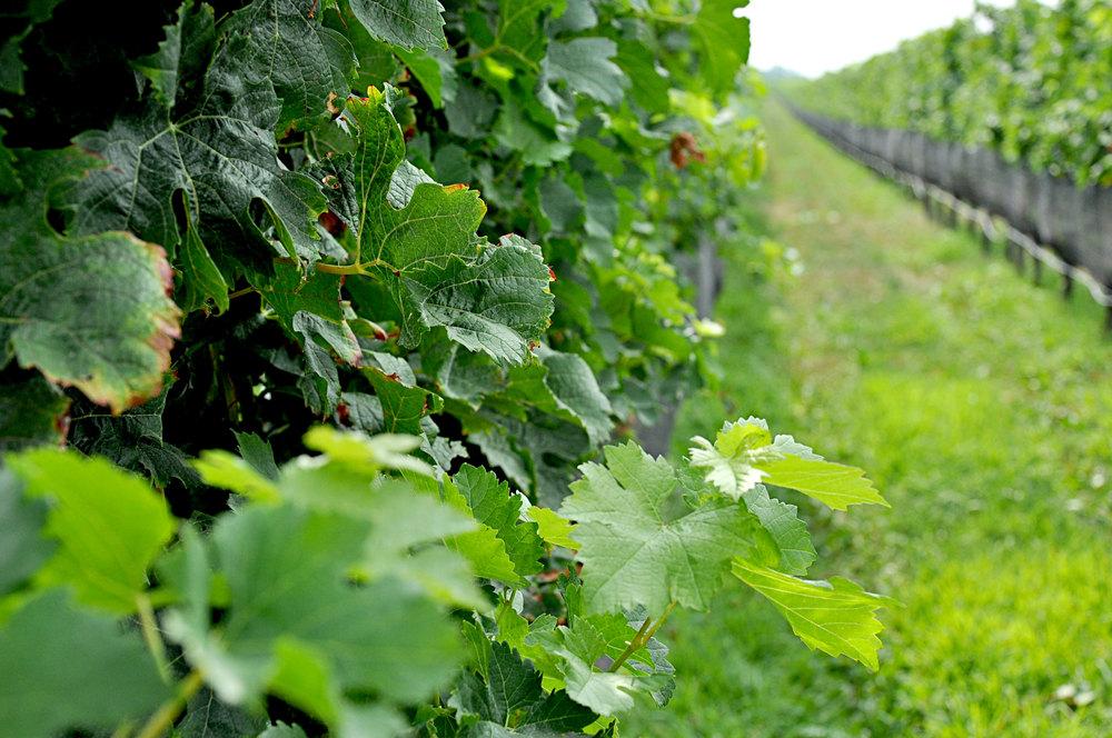 Fields on fields of grapes