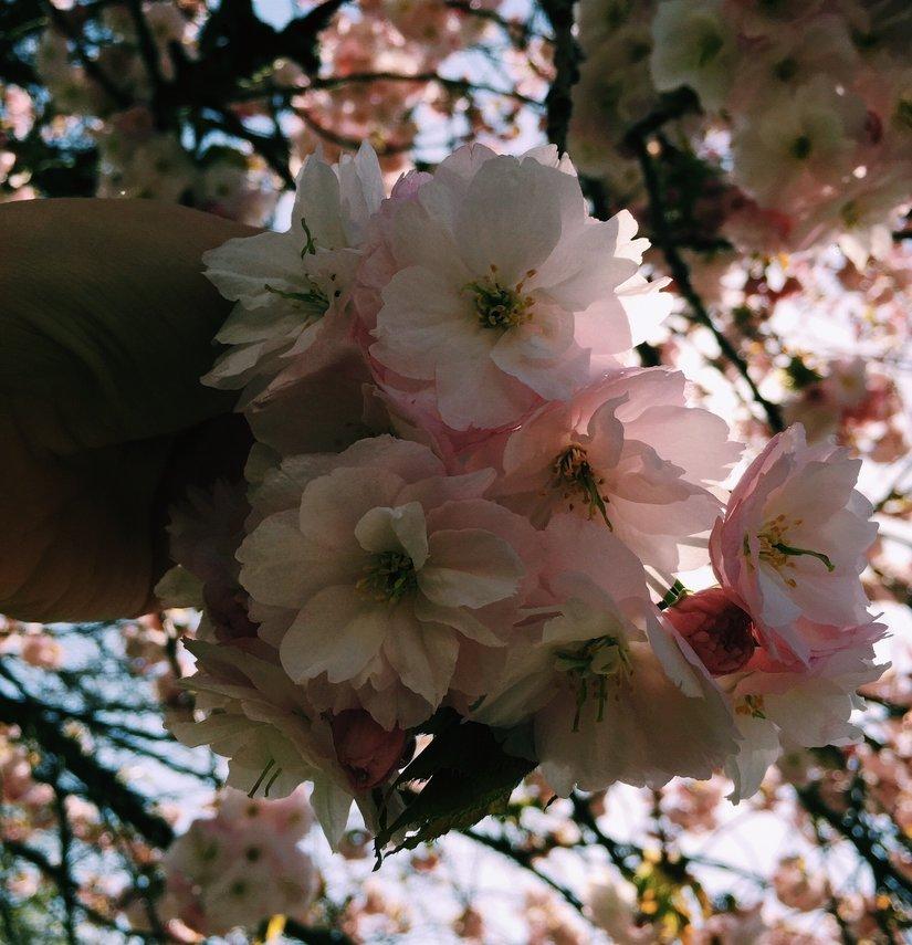 AESME Blog | cherry blossom