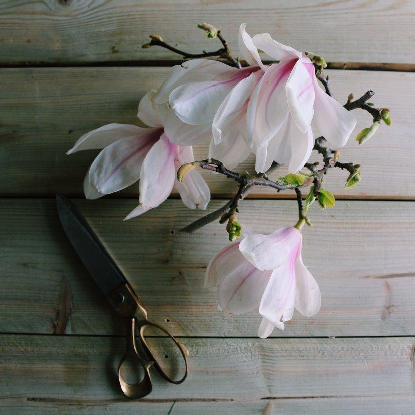 AESME Blog | magnolia cutting
