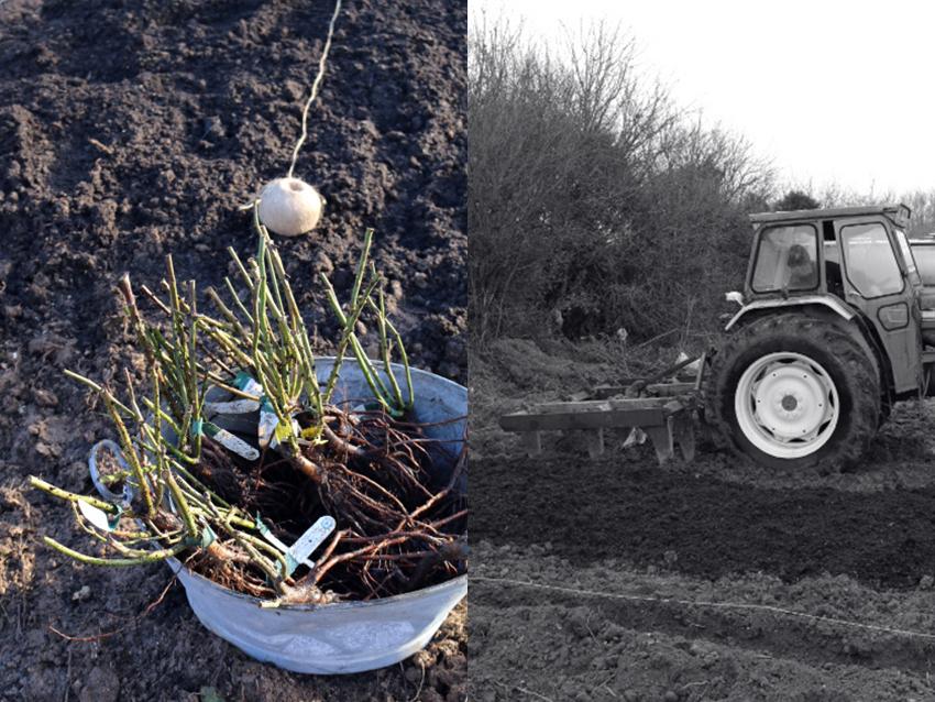 AESME Blog | Planting Roses.jpg