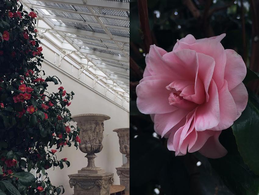 AESME blog | Chiswick House camellia.jpg