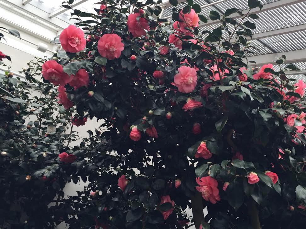AESME blog | Chiswick House camellia flowers.jpg