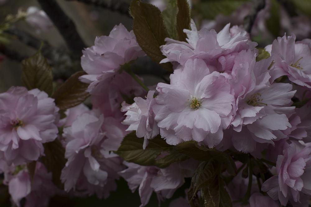 AESME blog | cherry blossom.jpg