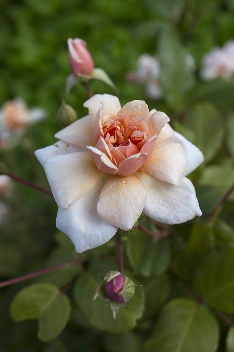 Garden Rose Aesme Flowers London