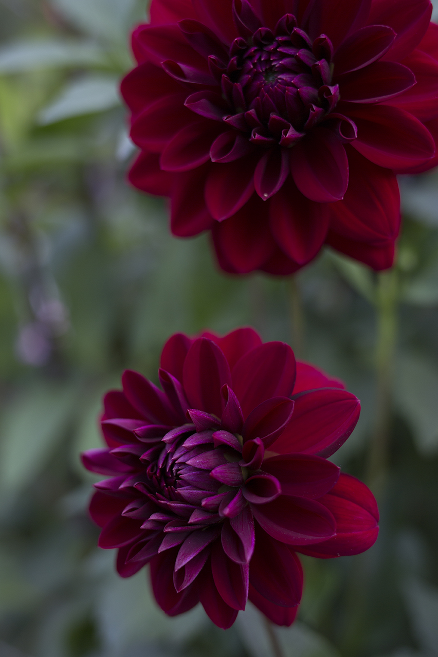 Dahlia Aesme Flowers London