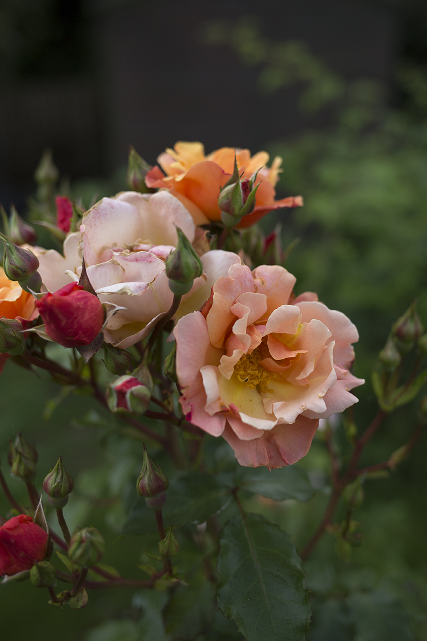 Roses in the cutting garden at Aesme