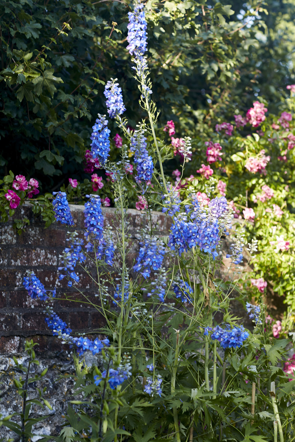 Delphiniums in the Charleston garden. Image by Kristin Perers.
