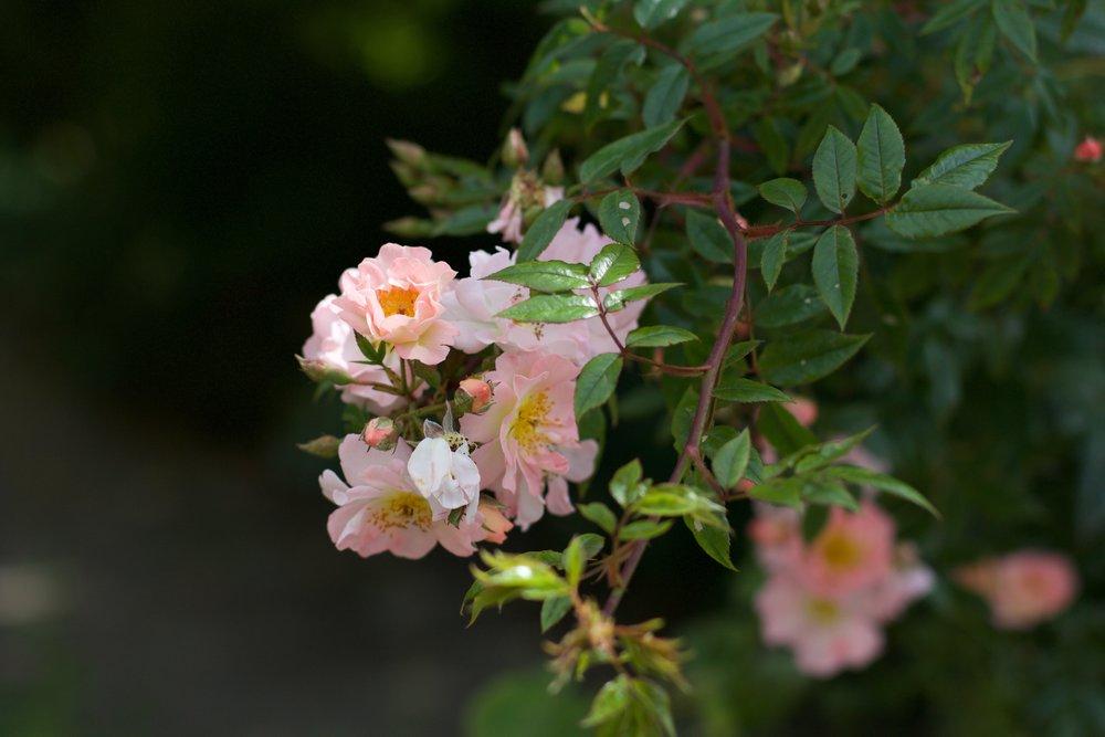Aesme Flowers London | Garden Rose Wedding Flowers
