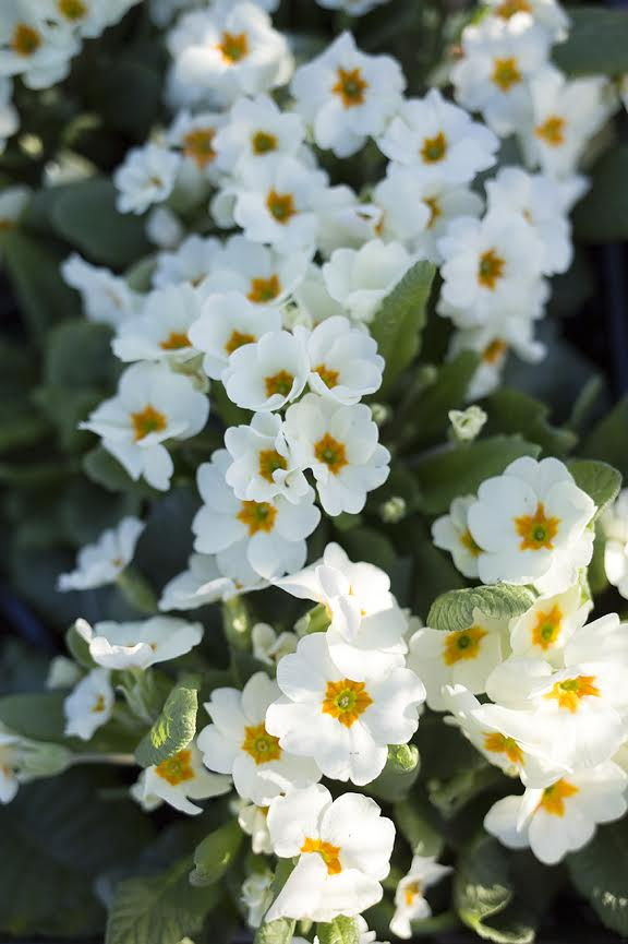 Aesme Flowers London | Primroses