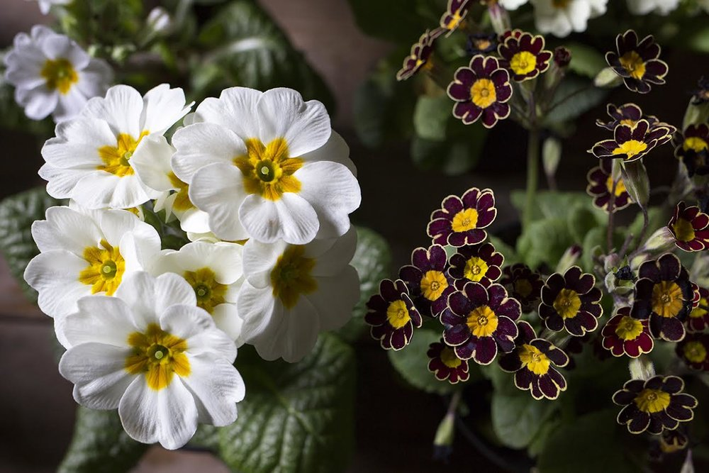 Aesme Flowers London | Primula