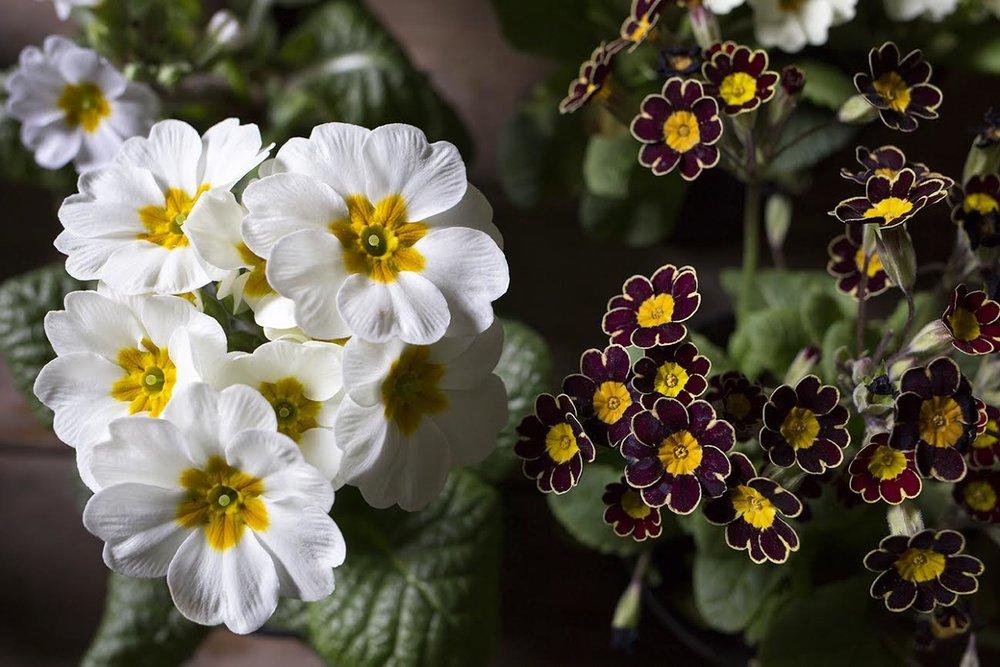 Aesme Flowers London | Primula