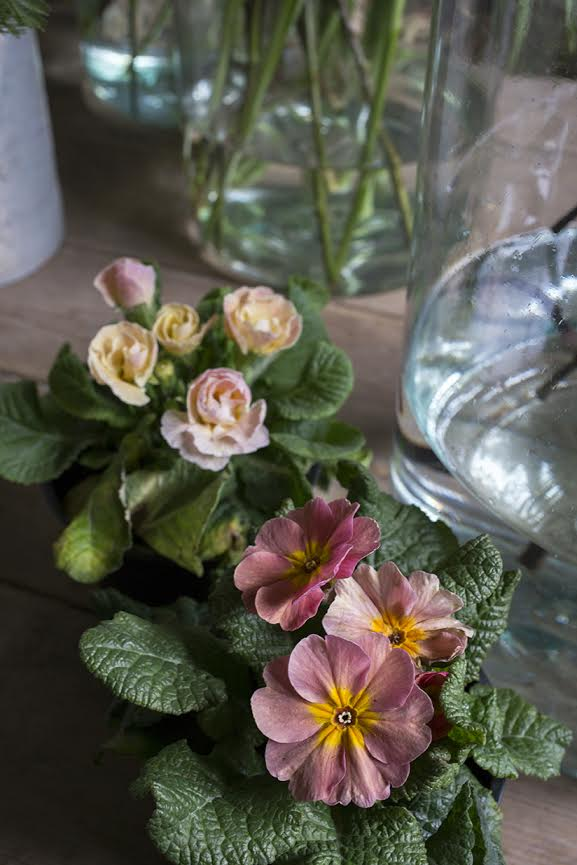 Aesme Flowers London | Spring Flowers Primula