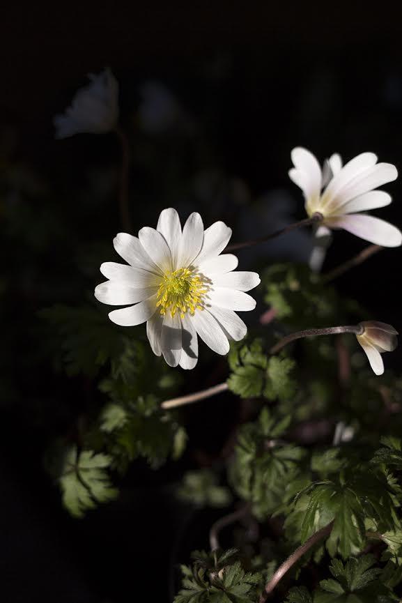 Aesme Flowers London | Spring Flowers Anemone Blanca