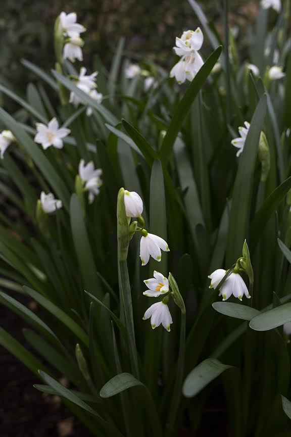 Aesme Flowers London | Spring Flowers Snowdrops