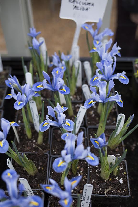 Aesme Flowers London | Spring Iris
