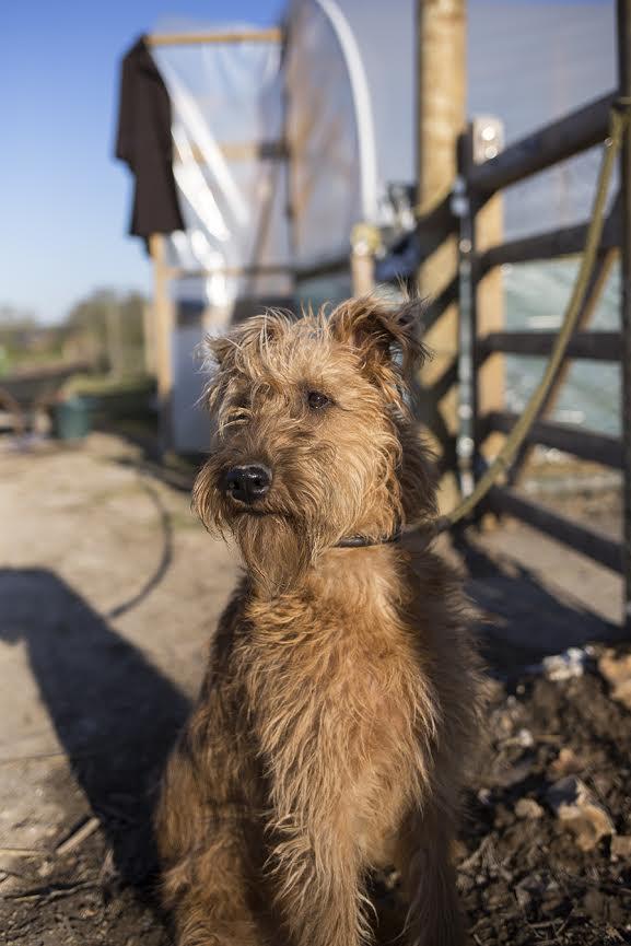 Aesme Flowers London | Irish Terrier