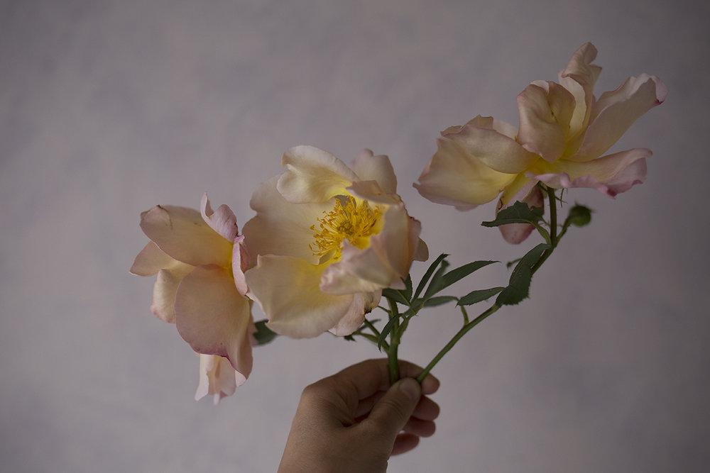 Rose 'Fighting Temeraire'