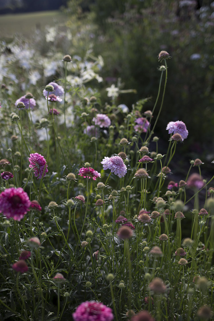 Scabious flowers in the cutting garden at Aesme