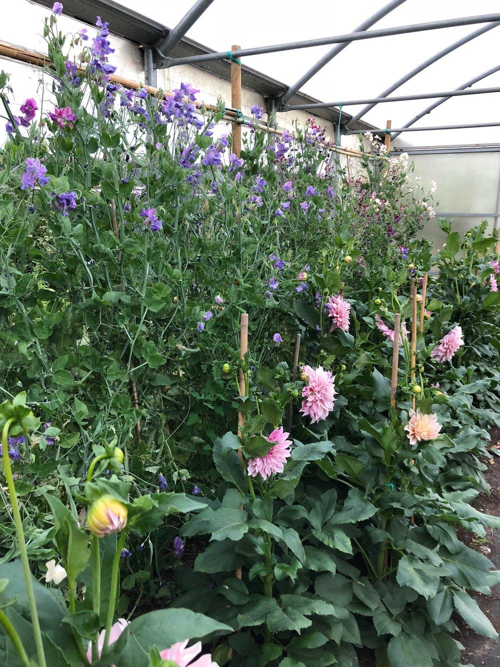 Sweet pea vines and dinner plate dahlias at Olga's Flower Farm