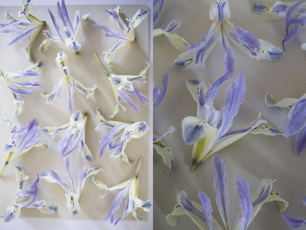Iris reticulata flower pressing | Aesme Studio London
