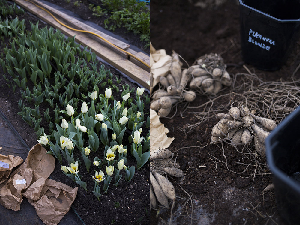 Tulip 'Concerto' flowering in one of the tunnels, and dahlia tubers going into their pots.