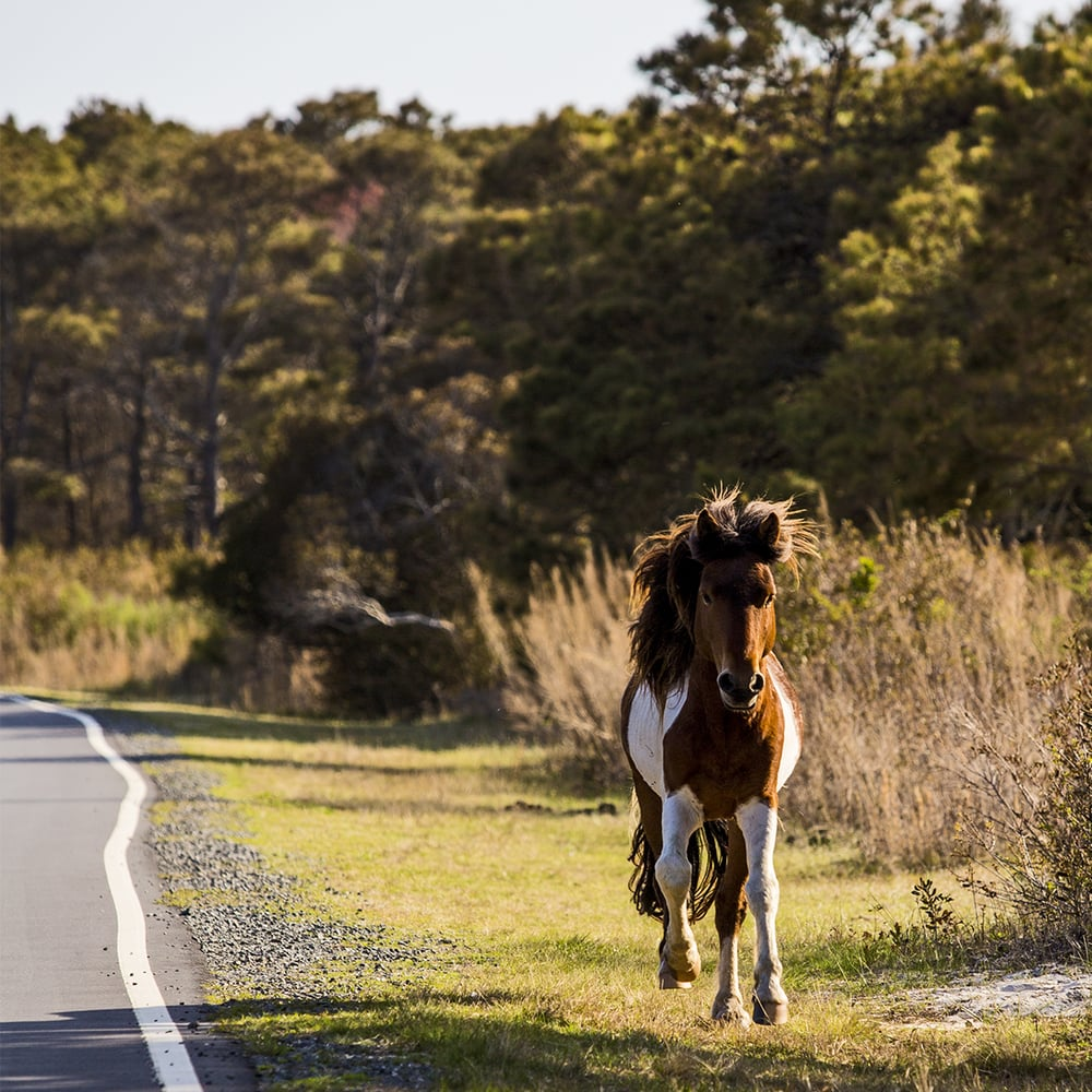 A wild horse running along the road on Assateague Island.