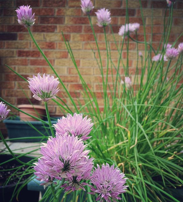 I want to make something really special with these long-awaited chive blossoms. Any ideas? #recipe #chive #garden #herbs #flowers #cook