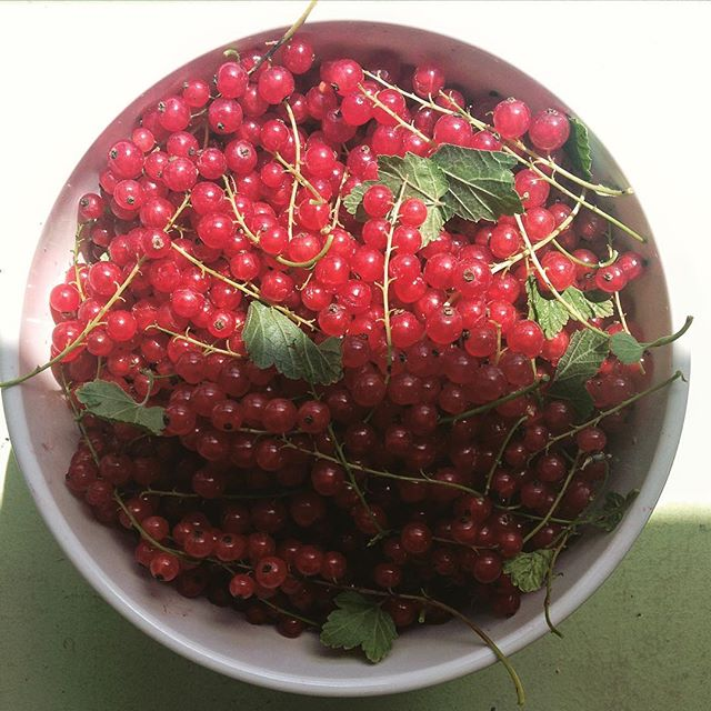 Picked a really big bowlful of tiny currants from the bushes in the backyard this morning. They're tiny and sour and juicy and wonderful. 😚 #currants #growyourown #freshpicked #puckerup