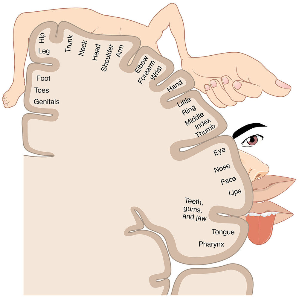 This is called a homunculus. It is the representation of different regions of your body in the brain. The size of each region can vary with how much you use it. Also areas can overlap, such as that in smudging.