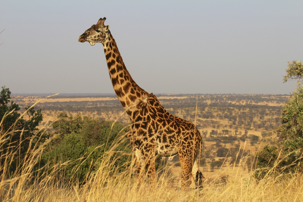 For reference, a female giraffe weighs about 828 kg... that's a lot of pressure.