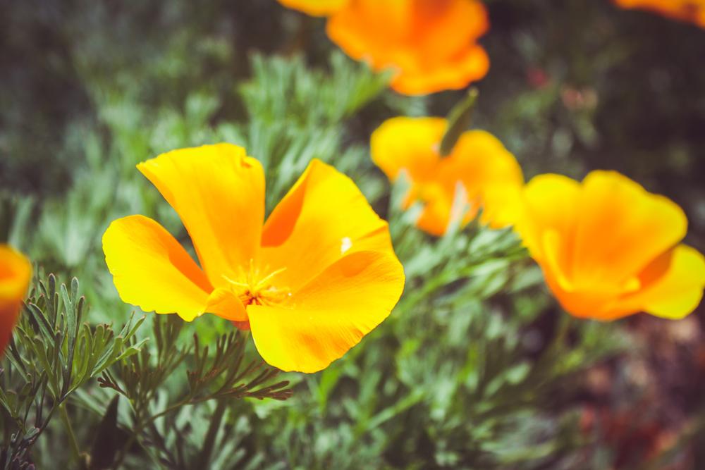 Some California poppies near the Mission Santa Ynez. #thatsamazing