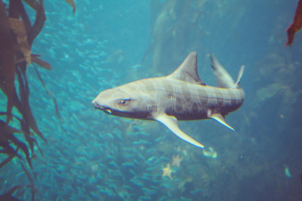 This is the Sharkus Pissedoffatus.