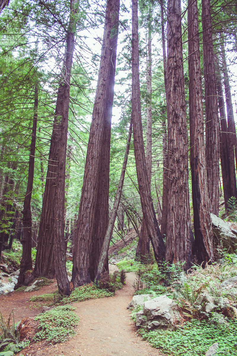 "I loved the ""little"" redwoods at Limekiln State Park! Makes me excited for our blue-sky trip to Sequoia National Park."